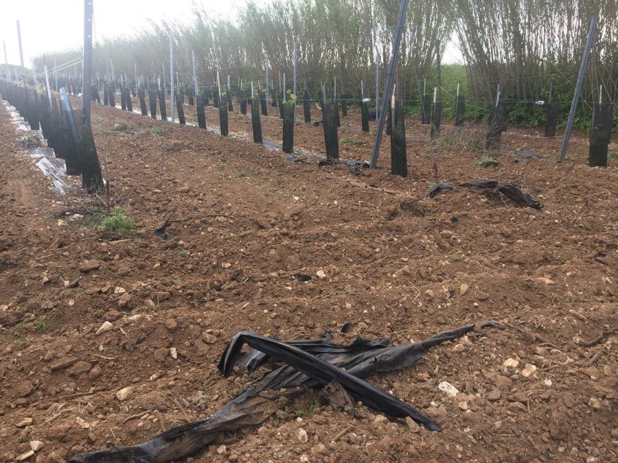 Baches plastiques en pleine terre dans les vignes de l'île de Ré