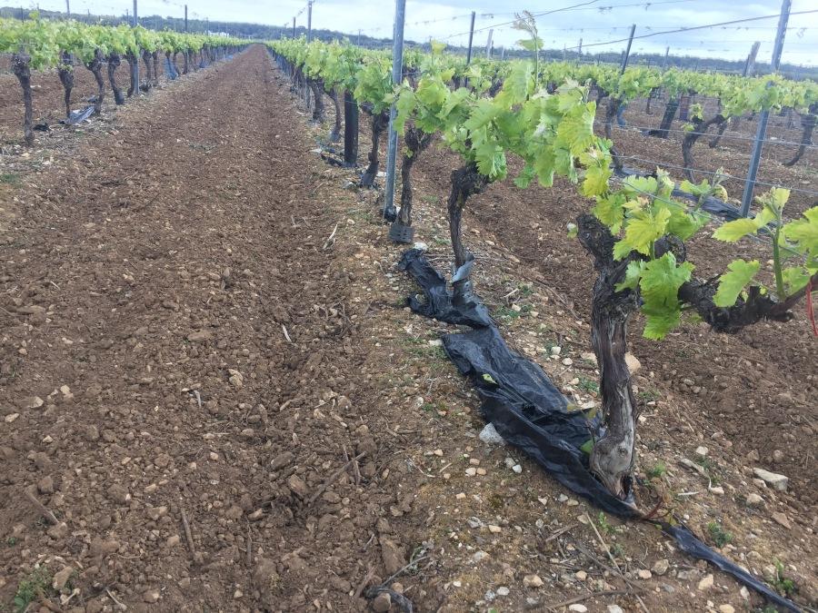 La vigne moderne de l'île de Ré: plastique et glyphosate